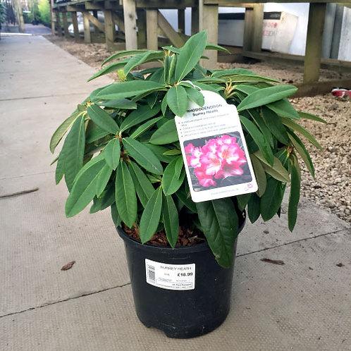 Rhododendron Surrey Heath