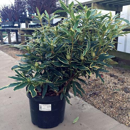 Rhododendron Silver Edge