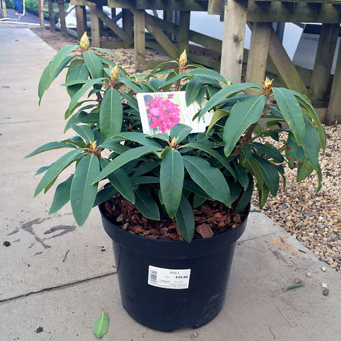Rhododendron Kali