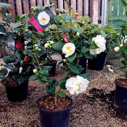 Camellia etrcarlyton