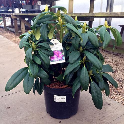 Rhododendron Libretto