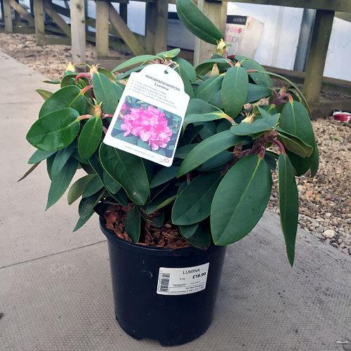 Rhododendron Lumina