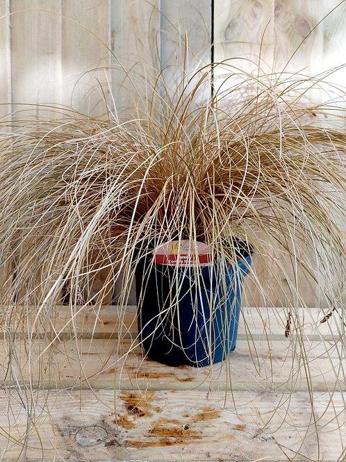 Carex 'Comans Bronze' 2L