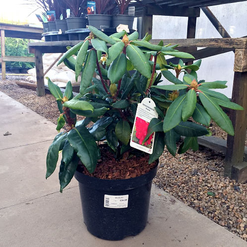 Rhododendron Bosuki