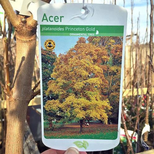 Acer Princeton Gold