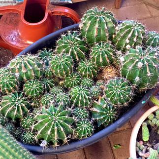 cacti19.jpg