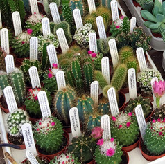 cacti09.jpg