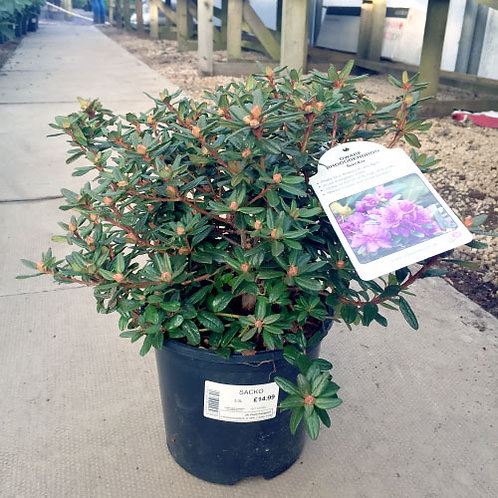 Rhododendron Sacko