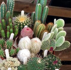 cacti07.jpg