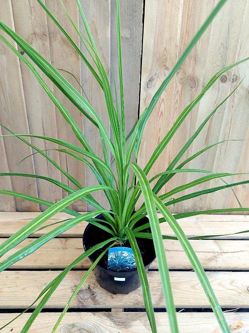 Cordyline Australis 'Torbay Palm' 2L