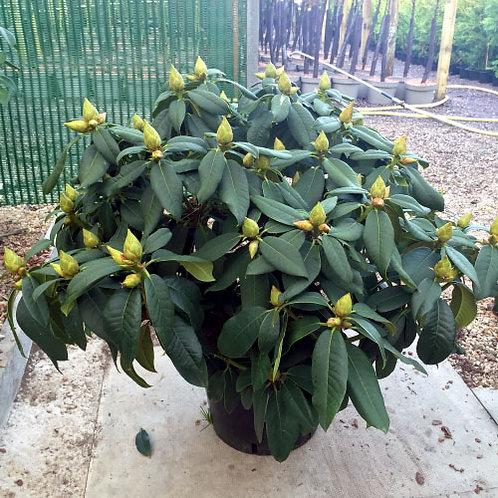 Rhododendron Van