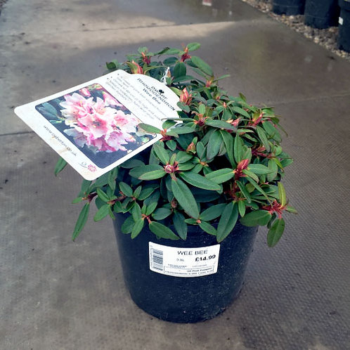 Rhododendron Weebee