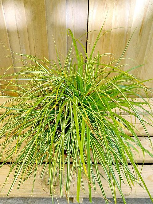 Carex 'Evergold' 2L
