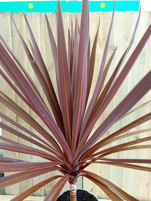 Large Cordyline Australis 'Red Star'