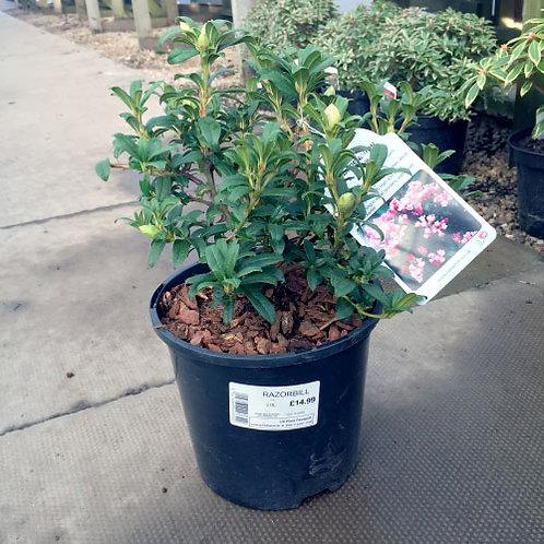 Rhododendron Razorbill