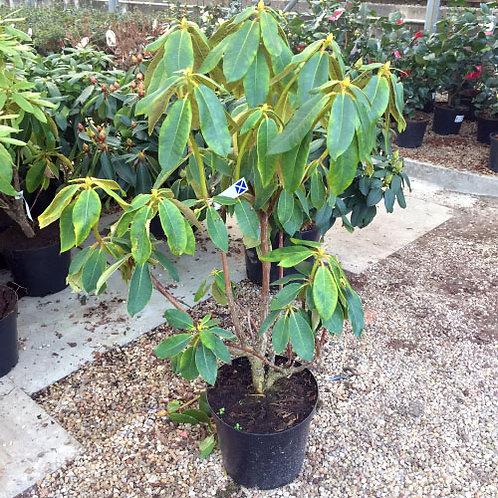 Rhododendron Markeetas Prize1