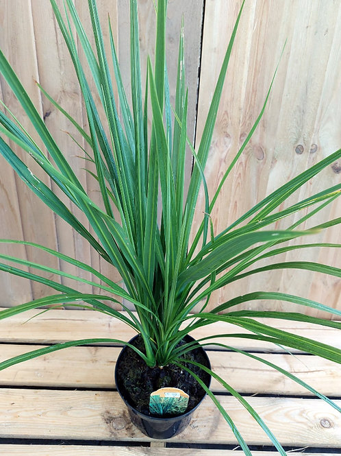 Cordyline Australis 'Torbay Palm' 3L