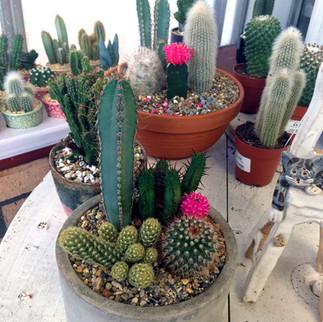 cacti24.jpg