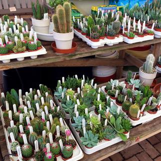cacti11.jpg