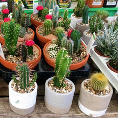 cacti01.jpg