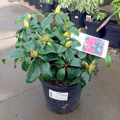 Rhododendron Bengal