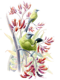 birds-bellbird.jpg