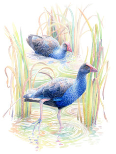 birds-pukeko.jpg