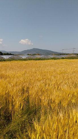 熊本県植木町 なかしま農園のもち麦畑