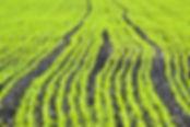 曙大豆の成長過程とは