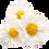 Thumbnail: Chamomile Spagyric Tincture