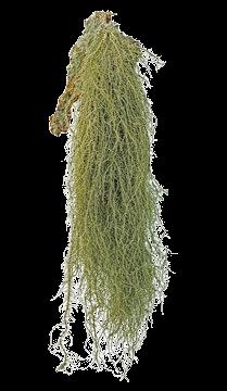 Usnea Spagyric Tincture