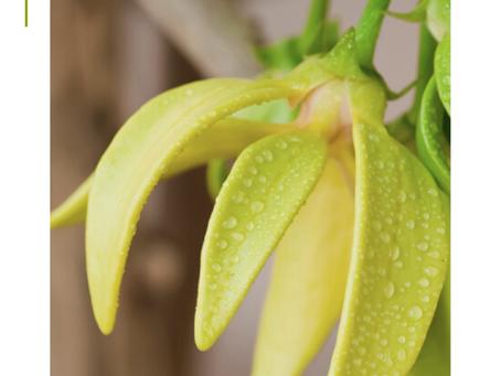 Ylang Ylang Flower Oil