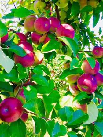 pommes---verger-en-image.jpg