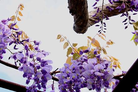 公園の藤の花044