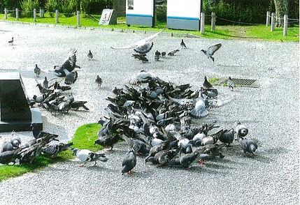 えさに群がる鳩