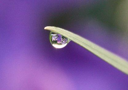 菖蒲の水滴075