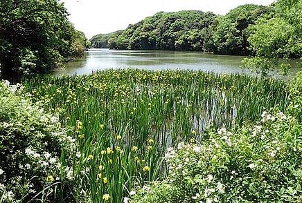 湖に菖蒲花開く