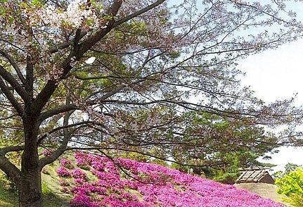 散る桜と芝桜