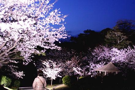 公園の桜009