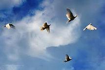 healing op afstand witte duiven.jpg