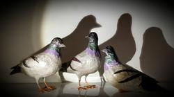 pigeons en papier Camille Jacobs