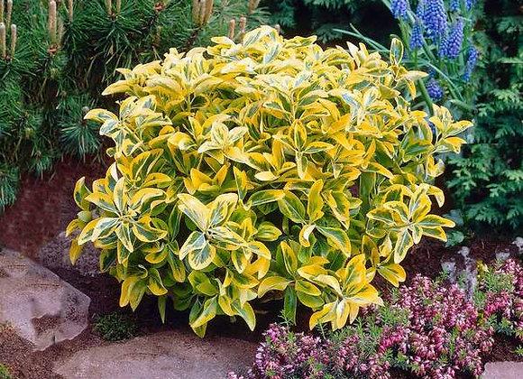 Euonymus - Green/Yellow