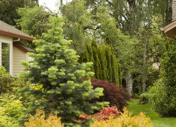 Rheingold Cedar