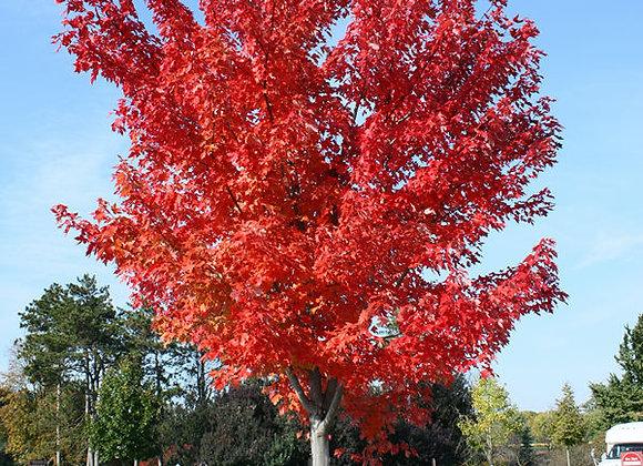 Autumn Blaze Maple Jeffers Red