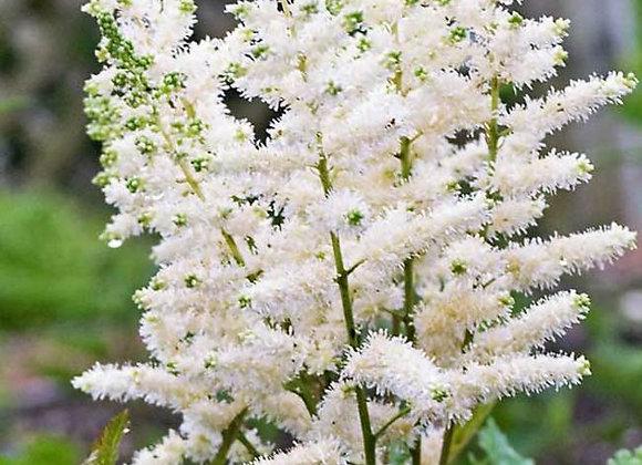 Astilbe, White