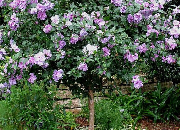 Rose of Sharon Standard
