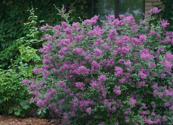 Lilac Bloomerang
