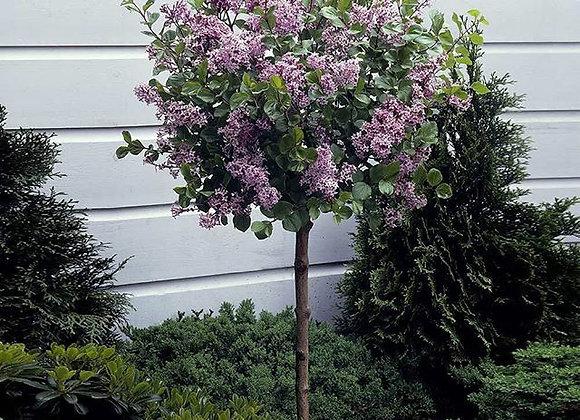Lilac Standard