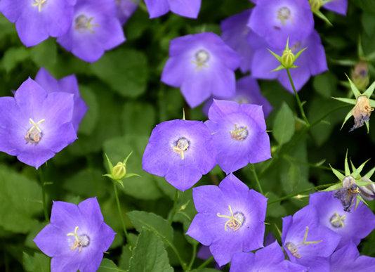 Bell Flower - Blue