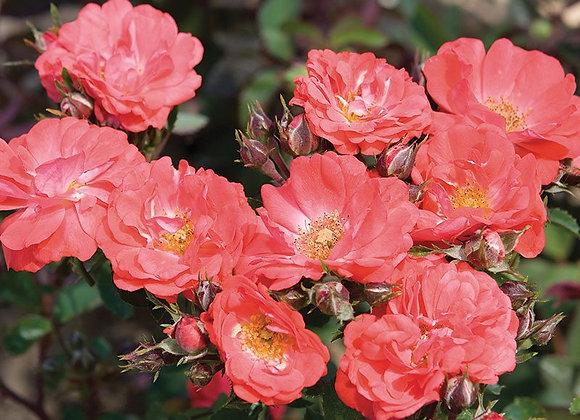 Drift Rose